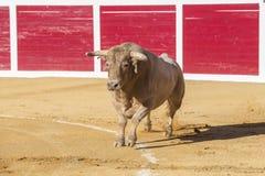 Captação da figura de um touro corajoso em uma tourada, Sabiote, S Foto de Stock Royalty Free