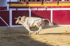 Captação da figura de um touro corajoso em uma tourada, Sabiote, S Imagem de Stock Royalty Free