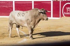 Captação da figura de um touro corajoso em uma tourada, Sabiote, S Imagens de Stock Royalty Free