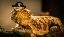 Captain Barbosa, the bearded Dragon warms himself. Stock Image