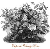Captain Christy rose, botanical vintage engraving Stock Photography