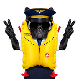 Captain cockpit airline dog. French bulldog dog as an airline cockpit captain wearing a yellow life vest , with peace and victory fingers, isolated on white stock images