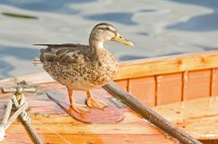 Captain Duck on deck ? Royalty Free Stock Image