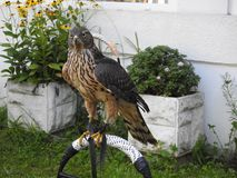 Hawk waiting for the owner`s command stock photo