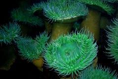 Breathtaking Abundance Of Green And Blue Anemones. Captivating Abundance Of Green And Blue Sea Anemones Stock Photos