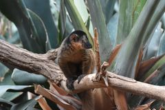 Captivating Brown Collared Lemur Interested By Something. Captivating Close Up of a Collared Lemur Stock Photos