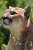 Captivating Cougar Stock Images