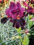 Royal Dark Violet spring Iris flower. Captivating flower displaying deep purple and reds royalty free stock images