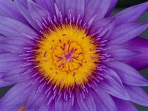 Captivating Fluid Impeccable Purple Lotus Flower. Royalty Free Stock Photography