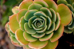 The Captivating Pattern of a Succulent Aeonium.  Desert Rose? Royalty Free Stock Image