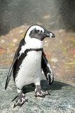 African Penguin - Spheniscus demersus. Captive African Penguin standing in the cooling mist on a hot summer afternoon at the zoo. Also knows as the Black-footed Stock Images