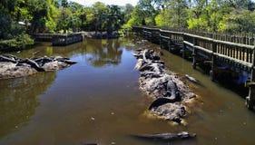 The alligators island the farm located in St. Augustine, Florida, USA. The captive alligators island the farm located in St. Augustine, Florida, USA stock photography