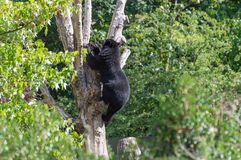 A spectacled Andean bear climbing in a tree royalty free stock image