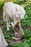 Arctic Wolf - Canis lupus. Captive Arctic Wolf pup giving his mom a kiss at the zoo. Toronto, Ontario, Canada Royalty Free Stock Images