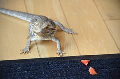 Australian Bearded dragon pet lizard. Captive Australian Bearded Dragon Pogona vitticeps pet lizard eating fruit and walking around house royalty free stock images