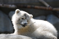 Captive Baby Polar Bear Royalty Free Stock Photos