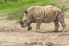 White Rhinoceros - Ceratotherium simum. Native of Africa, a captive baby White Rhinoceros walks in the sand at the zoo. Toronto, Ontario, Canada Stock Image