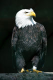 Captive Bald Eagle Stock Images