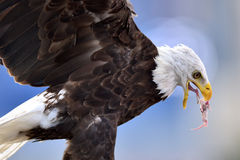 A captive bald eagle feeds on a small rodent Stock Photography