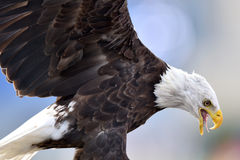 A captive bald eagle feeds on a small rodent Royalty Free Stock Images