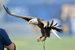 A captive bald eagle flies to its handler Royalty Free Stock Images