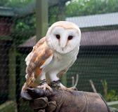 Captive barn owl. Closeup of a barn owl on a gloved hand Stock Photography