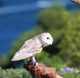 Captive Barn Owl Royalty Free Stock Photos