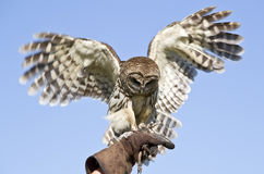 Captive Barn Owl Stock Photos