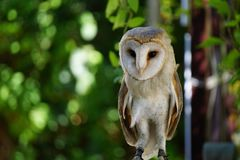 Captive barn owl royalty free stock images