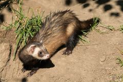 - Mustela nigripes. A captive Black-footed Ferret keeps a lookout on a sandy hill at the zoo. Also known as American Polecat and Prairie Dog Hunter. Toronto stock photography