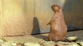 Captive black-tailed Prairie Dog standing upright and looking around in zoo. A captive black-tailed Prairie Dog standing upright and looking around in zoo at stock video