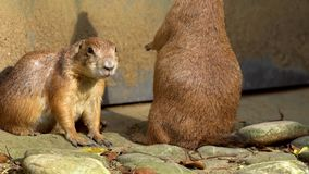 Captive black-tailed Prairie Dog standing upright and looking around in zoo. Slow motion of Prairie Dog standing upright and looking around in zoo at sunny day stock video