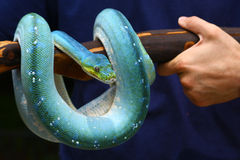 Captive boa with wonderful colors Royalty Free Stock Photo