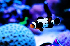 Captive-Bred Black Ice Ocellaris Clownfish  - Amphriprion ocellaris. The Captive-Bred Black Ice Ocellaris Clownfish is a relatively new strain of clownfish stock image