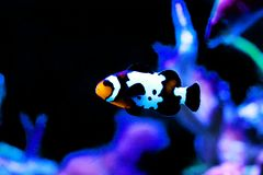 Captive-Bred Black Ice Ocellaris Clownfish  - Amphriprion ocellaris. The Captive-Bred Black Ice Ocellaris Clownfish is a relatively new strain of clownfish stock images