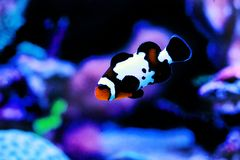 Captive-Bred Black Ice Ocellaris Clownfish  - Amphriprion ocellaris. The Captive-Bred Black Ice Ocellaris Clownfish is a relatively new strain of clownfish stock photography