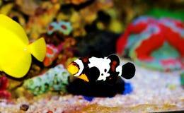 Captive-Bred Black Ice Ocellaris Clownfish  - Amphriprion ocellaris. The Captive-Bred Black Ice Ocellaris Clownfish is a relatively new strain of clownfish royalty free stock photos