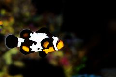 Captive-Bred Black Ice Ocellaris Clownfish  - Amphriprion ocellaris. The Captive-Bred Black Ice Ocellaris Clownfish is a relatively new strain of clownfish royalty free stock images
