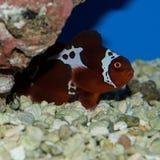 Captive Bred Lightning Maroon Clownfish Royalty Free Stock Photography