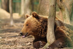 Captive brown bear Royalty Free Stock Photos