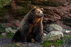 Captive brown bear, Ursus arctus. Resting on log in a great natural environment in a zoo in Borås, Sweden in autumn stock photo