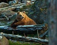 Captive brown bear, Ursus arctus Stock Photos