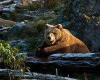 Captive brown bear, Ursus arctus Royalty Free Stock Photos