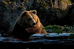 Captive brown bear, Ursus arctus. Resting on log in a great natural environment in a zoo in Borås, Sweden in autumn royalty free stock images