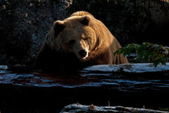 Captive brown bear, Ursus arctus. Resting on log in a great natural environment in a zoo in Borås, Sweden in autumn royalty free stock image
