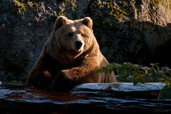 Captive brown bear, Ursus arctus. Resting on log  in a great natural environment in a zoo in Borås, Sweden  in autumn Stock Photography