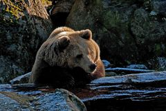 Captive brown bear, Ursus arctus. Resting on log in a great natural environment in a zoo in Borås, Sweden in autumn royalty free stock photography