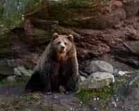 Captive brown bear, Ursus arctus royalty free stock photo