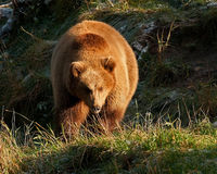 Captive brown bear, Ursus arctus. Walking across grass in mountain environment  in a great natural environment in a zoo in Borås, Sweden  in autumn Stock Photography