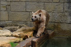 Captive Brown Bear Stock Image